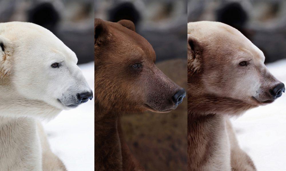 X Five Polar Bear Grolar: Ours mi-grizzl...