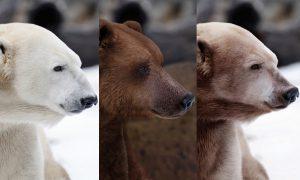 Grolar un ours du changement climatique